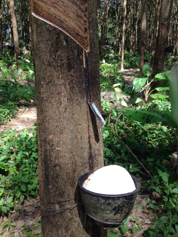 Harvesting rubber in a rubber tree plantation, Krabi, Thailand.