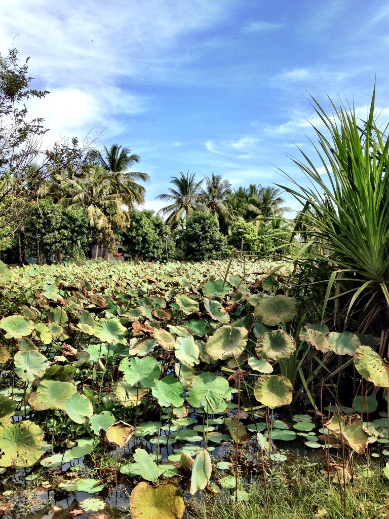 "Lotus flower field, the leaves have many uses: a waterproof hat, biodegradable plates and to go ""boxes"", and silk threads can be made from the stems."
